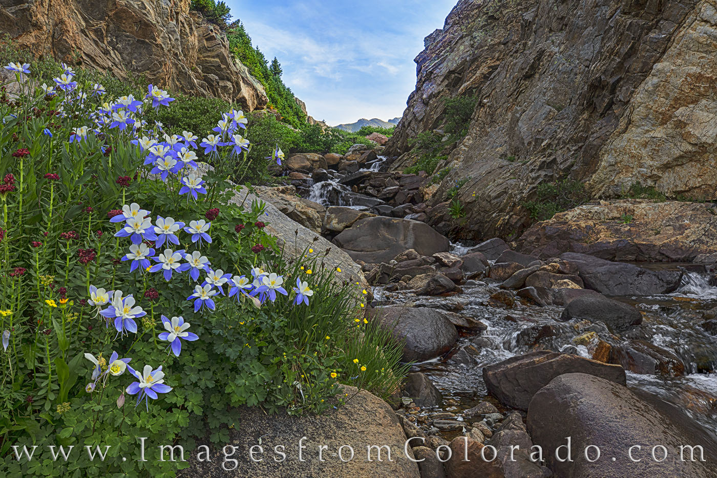 Colorado wildflowers near Independence Pass