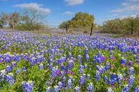 Castell, Texas, Bluebonnets