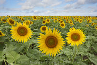 Sunflowers in Hillsboro, Texas