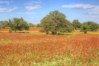 Texas Reds Part 2 - Field Creek