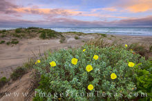 Texas wildflowers, south padre island, flowers, yellow, primrose, beach, sand dunes, gulf of mexico, shore