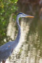 blue heron, heron, south padre, bird, south padre island, birds, texas coast, south texas