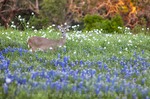 A Deer in the Hill Country Bluebonnets