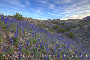 Big Bend Bluebonnets in February 1