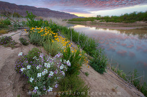 Wildflowers at Big Bend National Park 1