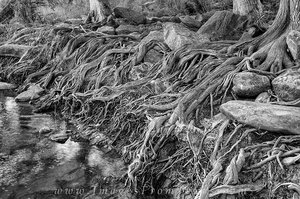 Pedernales Cypress Roots black and white