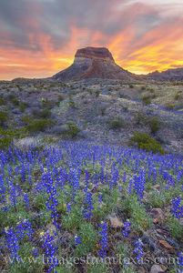 Bluebonnet Glory, Big Bend National Park 123-2