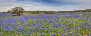Afternoon Field of Bluebonnets Panorama