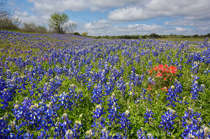 Bluebonnet Prints - Blue Along 3347 1