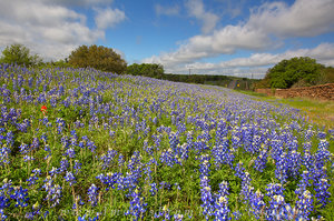Bluebonnet Along the Roadside 2