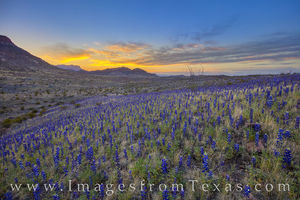 Bluebonnet Sunrise in Big Bend 309-3