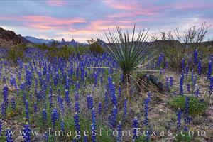 Bluebonnet Sunrise near the Mule Ears, Big Bend 307-4