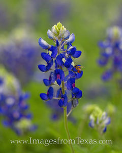 Bluebonnet and a Bee at Work 319-1