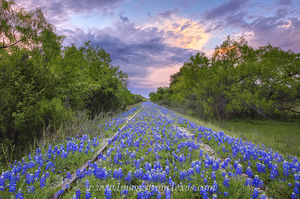Bluebonnets along Train Tracks 1