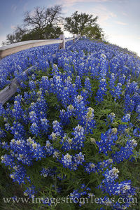 Bluebonnets along a Fence with a Fisheye Lens 1