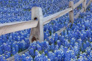 Bluebonnets along a Fencepost 2