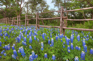 Bluebonnets along a Hill Country Fence 1