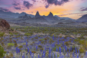 Bluebonnets and Mule Ears Morning, Big Bend 310-1