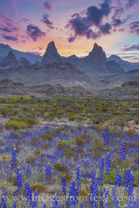 Bluebonnets and Mule Ears Morning, Big Bend 310-2