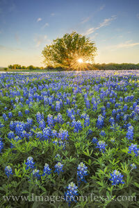 Bluebonnets and One Tree 2