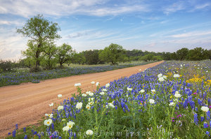 Bluebonnets on a Dirt Road 1