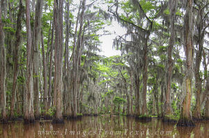Caddo Lake - the Cathedral 1