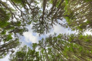 Canopy of Cypress at Caddo Lake 1