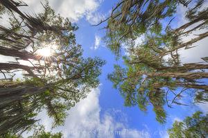 Canopy of Cypress at Caddo Lake 2
