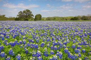 Cypress Mill Bluebonnets 1