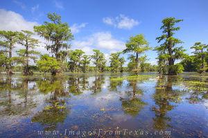 Cypress of Caddo Lake 1