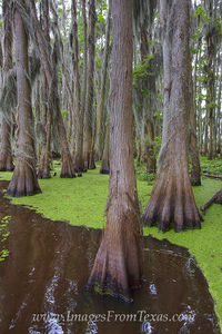 Cypress of Caddo Lake 4