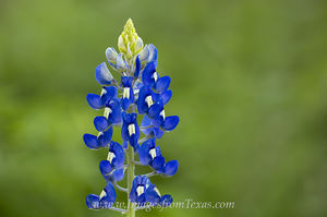 First Bluebonnet of Spring