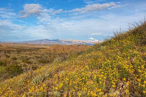 Golden Texas Wildflowers of Big Bend Nat