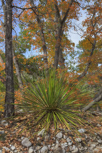 Guadalupe Mountains - Autumn Yucca 2