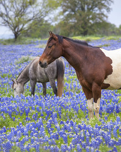 Hill Country Bluebonnets and Horses