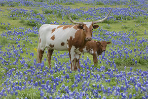 Longhorn and Calf in Bluebonnets 1