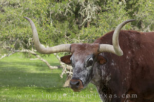 Longhorn in Summer 1