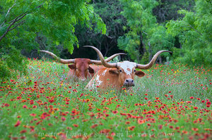 Longhorns in Indian Blankets 1