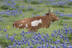 Longhorns on a Lazy Afternoon 1
