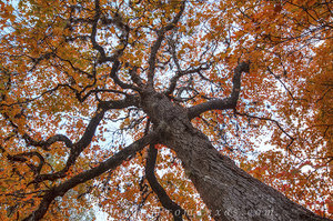 Lost Maples - Red Maple Abstract 1