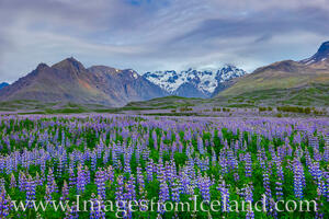 Lupine along the South Coast of Iceland 2