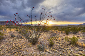 Ocotillo at Sunset in Big Bend 1