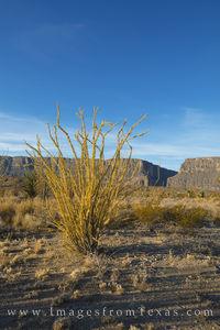 Ocotillo near Santa Elena Canyon 1