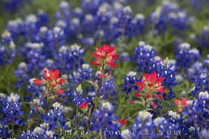 Paintbrush and Bluebonnets 2