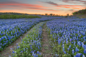 Texas Bluebonnets Images and Prints
