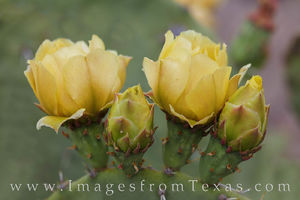 Prickly Pear Blooms 1