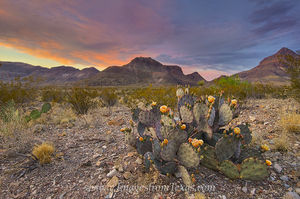 Prickly Pear Sunset at Big Bend 4