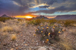Prickly Pear Sunset at Big Bend 1
