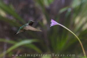 Rain Lilies and a Hummingbird 2