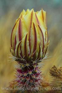 Rainbow Cactus Bud 1